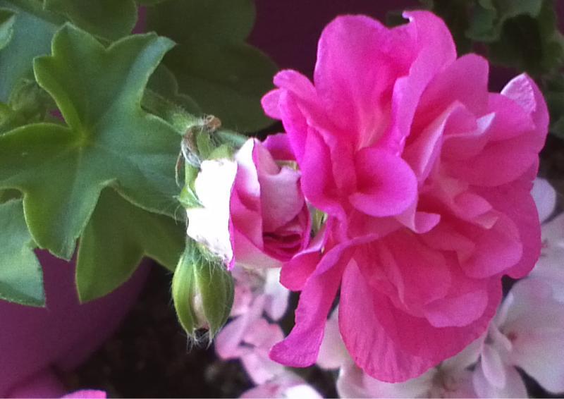 Pelargonium - Pelargonien - alle nichtsukkulenten Arten und Sorten - Aussaat - Stecklinge - Seite 12 Sibyl_10