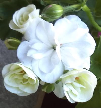 Pelargonium - Pelargonien - alle nichtsukkulenten Arten und Sorten - Aussaat - Stecklinge - Seite 12 Sonata10