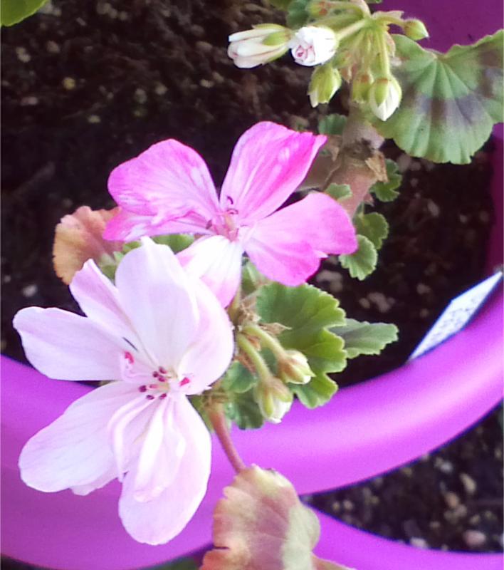 Pelargonium - Pelargonien - alle nichtsukkulenten Arten und Sorten - Aussaat - Stecklinge - Seite 12 Susan_10