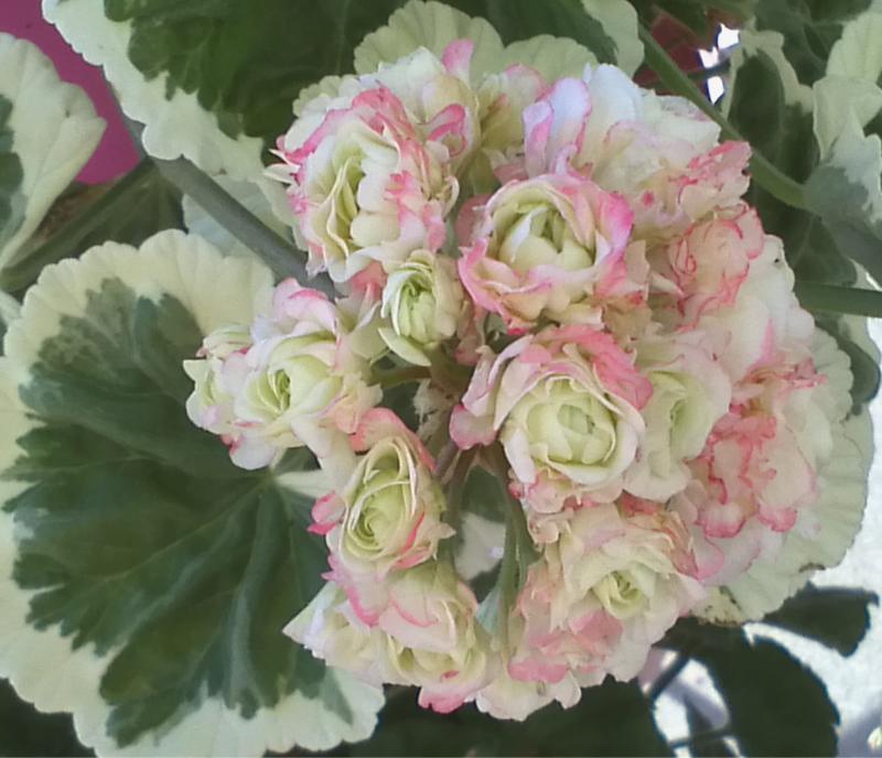 Pelargonium - Pelargonien - alle nichtsukkulenten Arten und Sorten - Aussaat - Stecklinge - Seite 12 Westda10