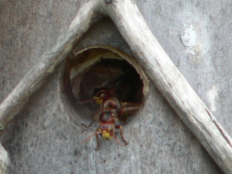 Photos frelons européens ayant élu domicile dans nichoir oiseaux P1310112