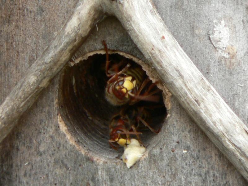 Photos frelons européens ayant élu domicile dans nichoir oiseaux P1310213