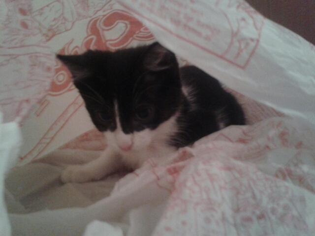 Joël, chaton type européen noir et blanc, né le 25/06/2014  2014-010