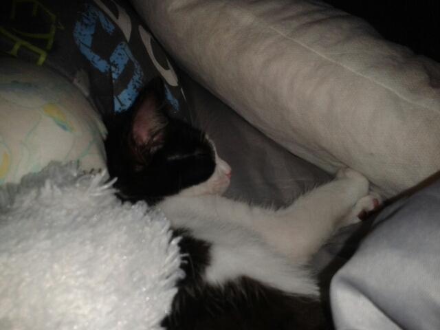 Joël, chaton type européen noir et blanc, né le 25/06/2014  2014-012