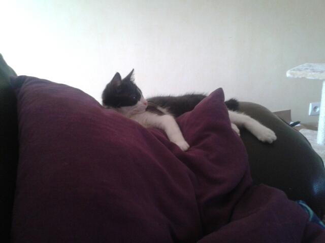 Joël, chaton type européen noir et blanc, né le 25/06/2014  Newbie10