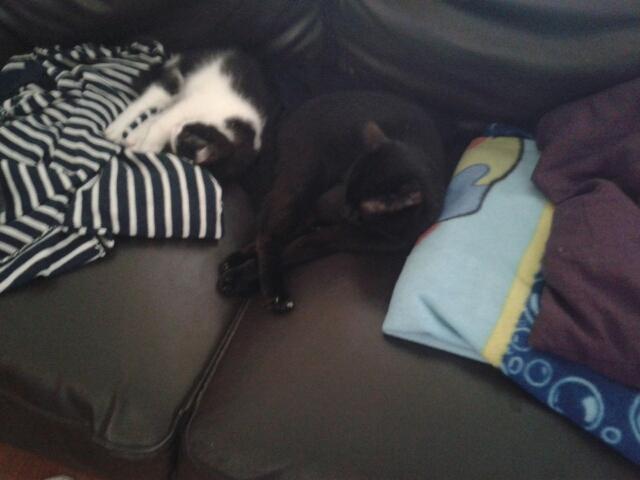 Joël, chaton type européen noir et blanc, né le 25/06/2014  Noctal10