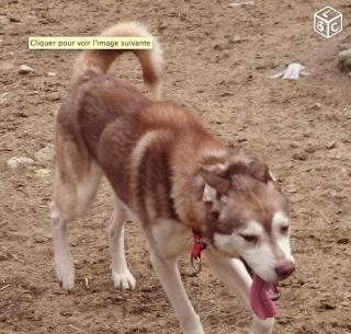 Crownys mâle husky sibérien de 7 ans Crowny10