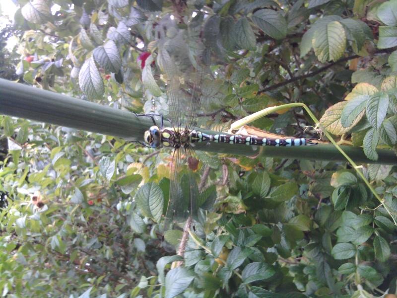 Aeschne bleue (Aeschna cyanea) jardin du tribunal de grande instance le 14/08 2014-010