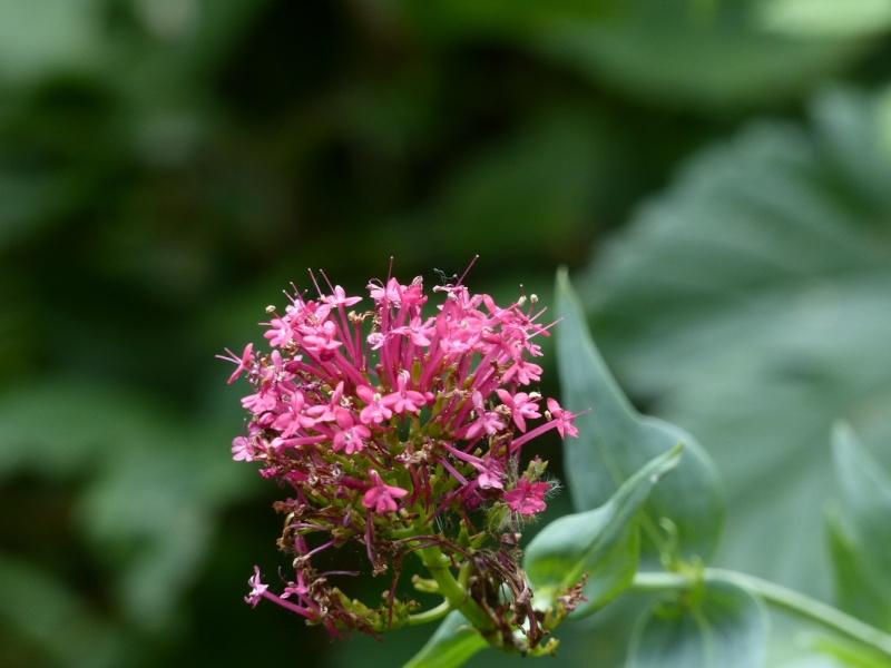 Centranthe rouge, Centranthus ruber près du pont du Gouet le 14/07 Centra10