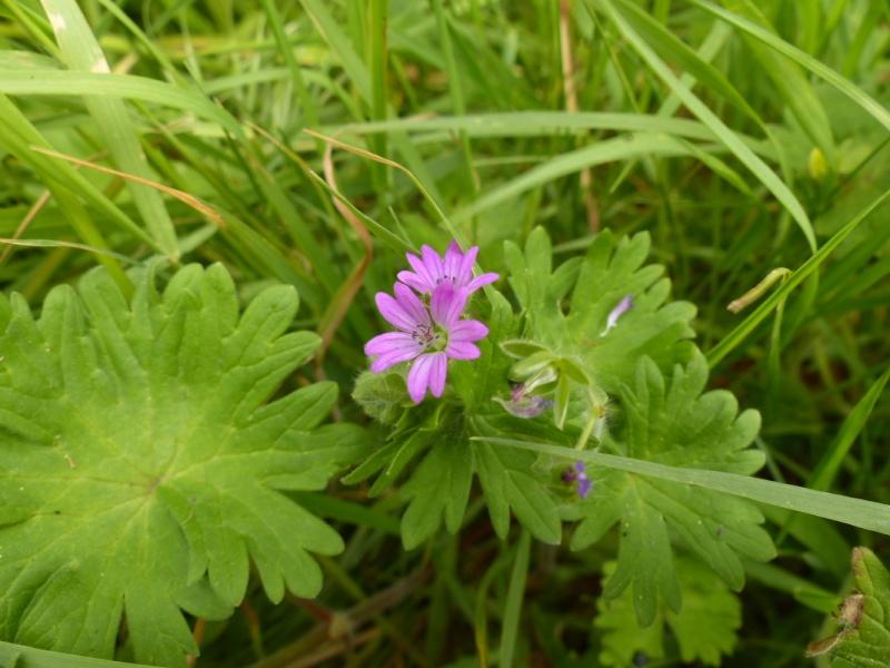Géranium à feuille molle, Geranium molle, Vallée de gouédic le 05/05 P1010912