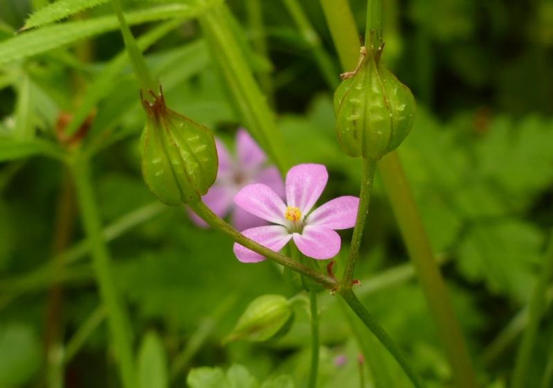 Géranium luisant, Geranium lucidum, Vallée de Gouédic le 05/05 P1020010