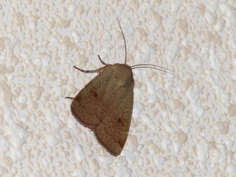 Papillon de nuit, rue boileau le 21/06 P1040310