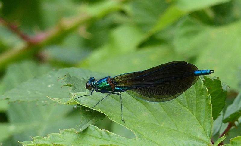 Caloptéryx  virgo mâle, le 14:07   pont du Gouet P1040810