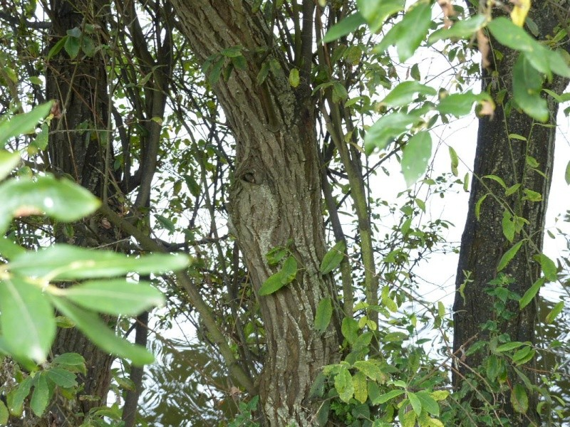 Saule cendré, Salix cinerea, étang de Douvenant le 9/08 P1050917