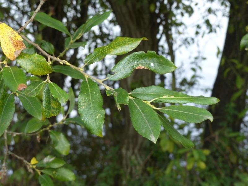 Saule cendré, Salix cinerea, étang de Douvenant le 9/08 P1050918