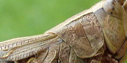 criquet des patures, chorthippus parallelus, etang de Douvenant le 9/08 P1050920