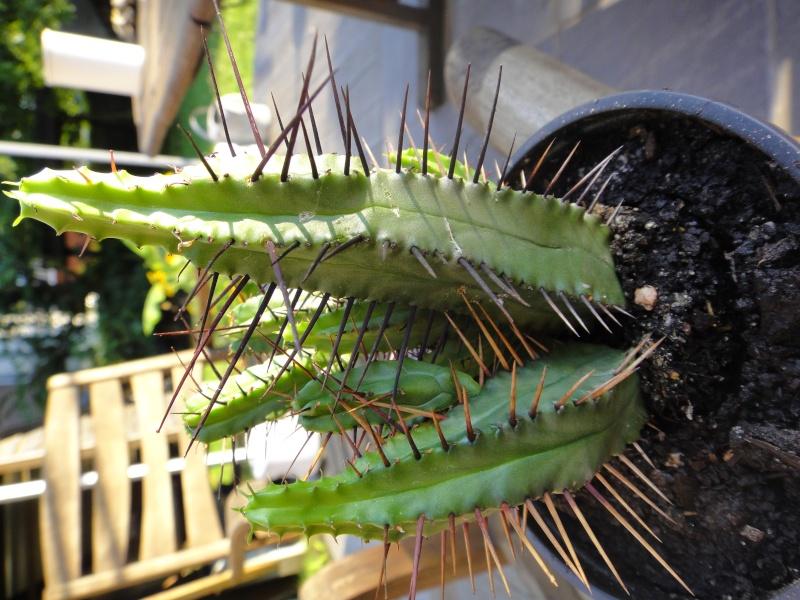 Identufication du cactus. Dsc01515