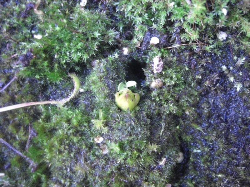 Plantules P. grandiflora périssant les unes apres les autres ... - Page 3 Cimg2620