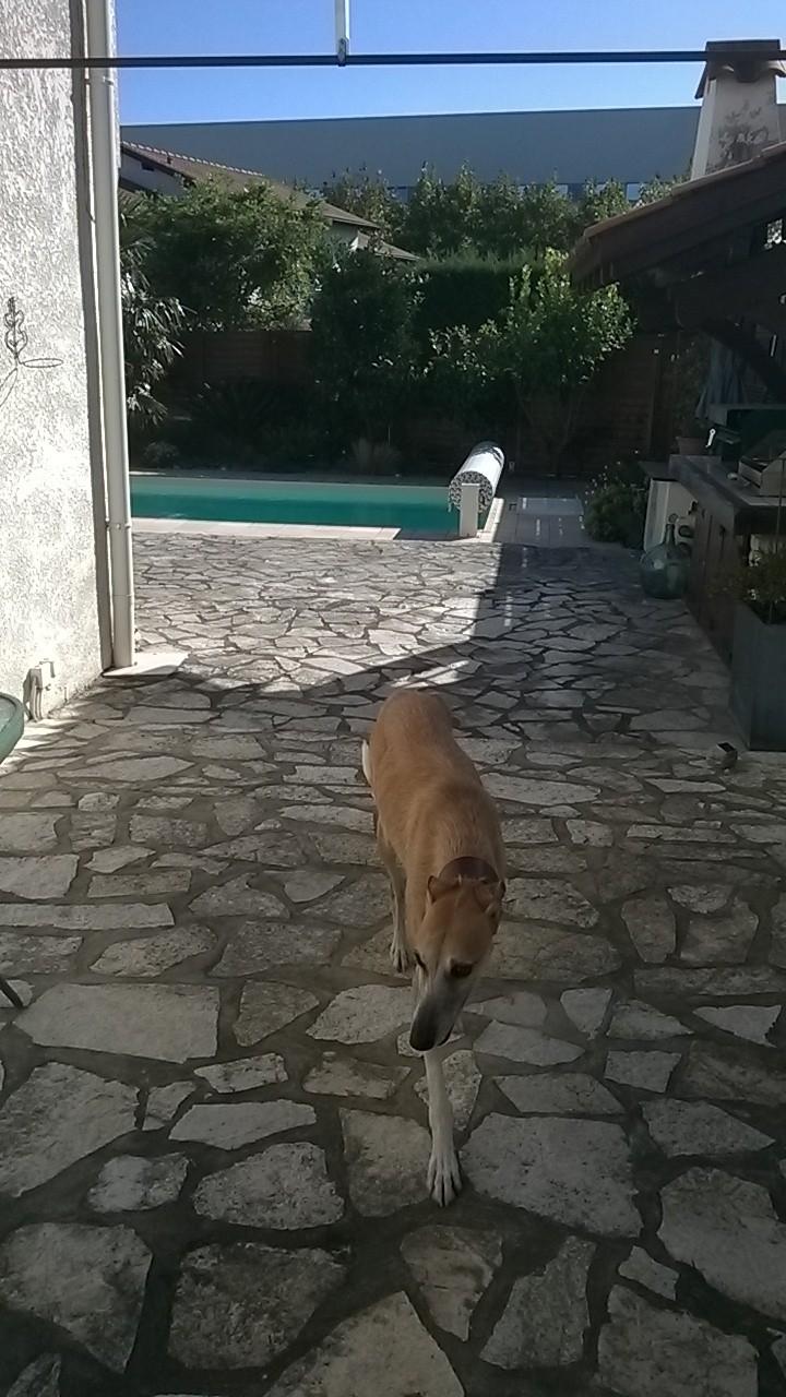 """Rubio –très doux très grand galgo à l'adoption Adopté Scooby France"""" - Page 2 Wp_20123"""