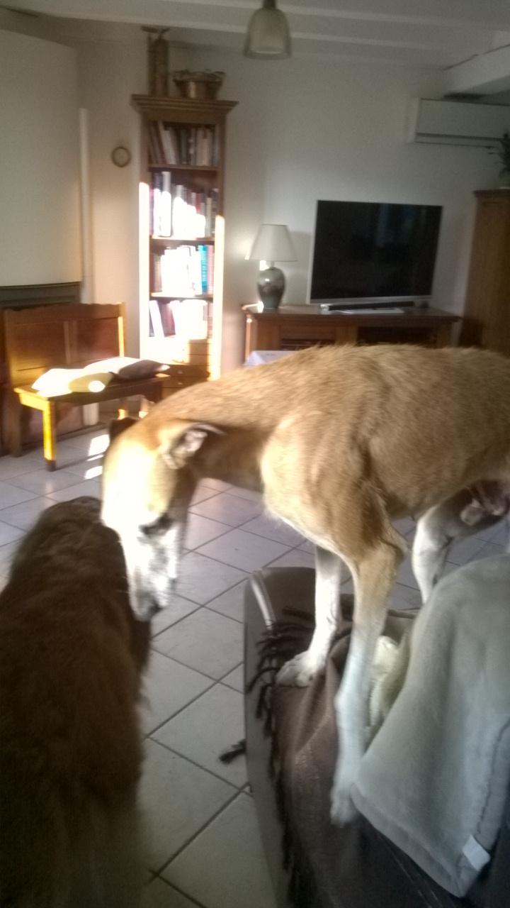 """Rubio –très doux très grand galgo à l'adoption Adopté Scooby France"""" - Page 3 Wp_20129"""