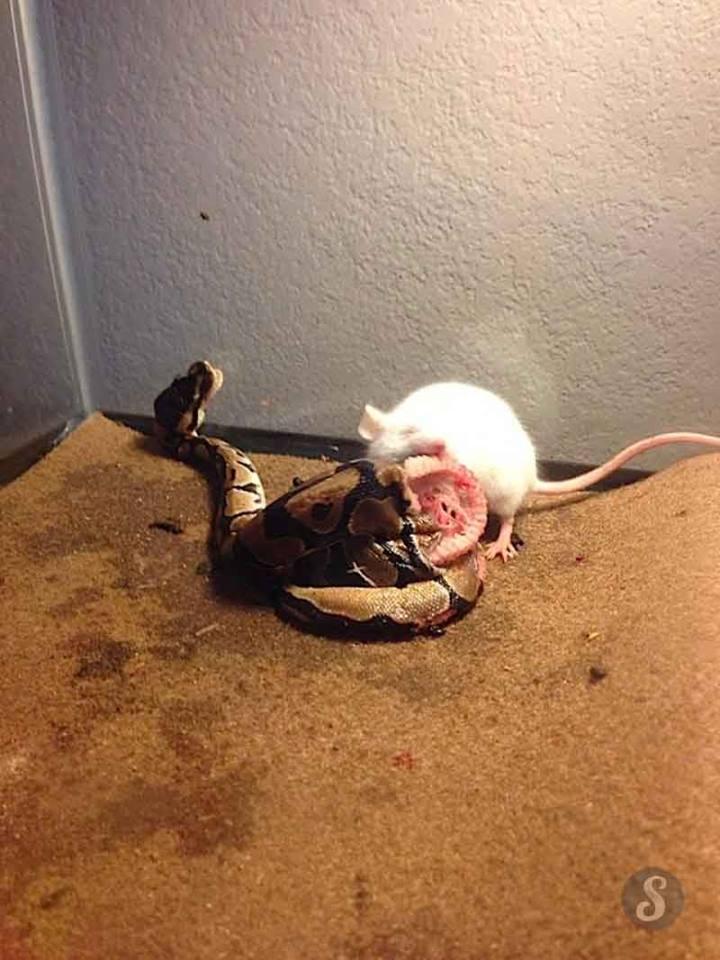 Serpent mal acclimaté ou stressé + proie vivante laissée toute une nuit 10846110