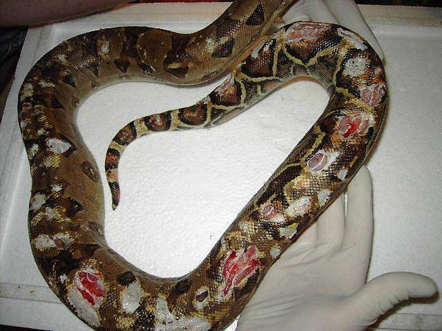 Serpent mal acclimaté ou stressé + proie vivante laissée toute une nuit Bild1110