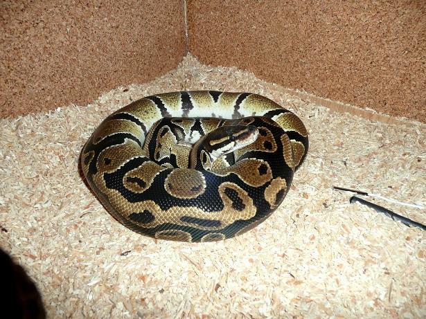 Python regius classique Pri10