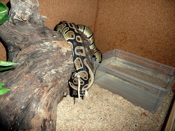 Python regius classique Prii10