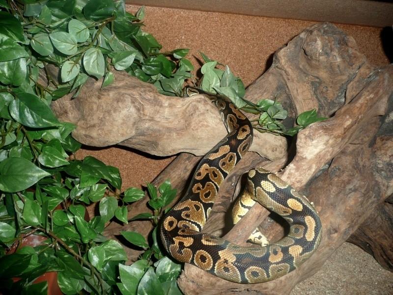 Python regius classique Priii10