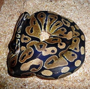 Python regius classique Priv10