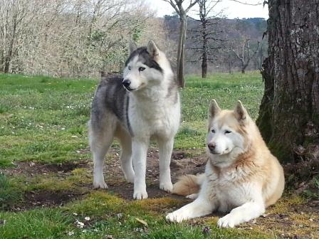 ABYSS 9 ans et BAMBOO 8 ans, chiennes husky à l'adoption Fifill12