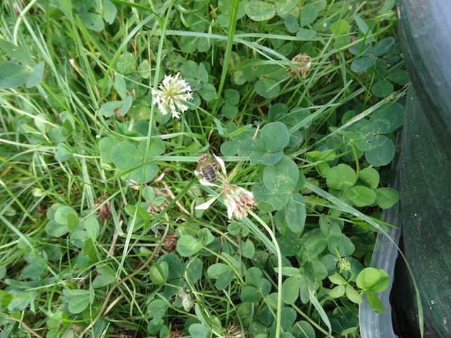 abeille butinant une fleur de trèfle Abeill10