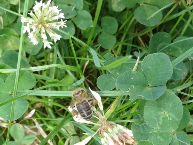 abeille butinant une fleur de trèfle Abeill11