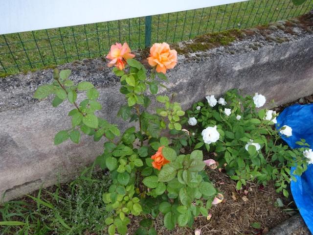 29 rosiers dans mon petit jardin je ne connais pas leurs noms Rosier10