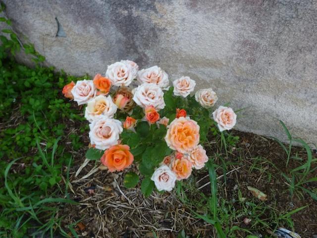 29 rosiers dans mon petit jardin je ne connais pas leurs noms Rosier11