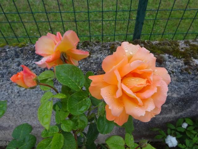 29 rosiers dans mon petit jardin je ne connais pas leurs noms Rosier12
