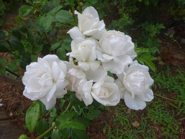 29 rosiers dans mon petit jardin je ne connais pas leurs noms Rosier13