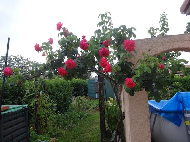 29 rosiers dans mon petit jardin je ne connais pas leurs noms Rosier14