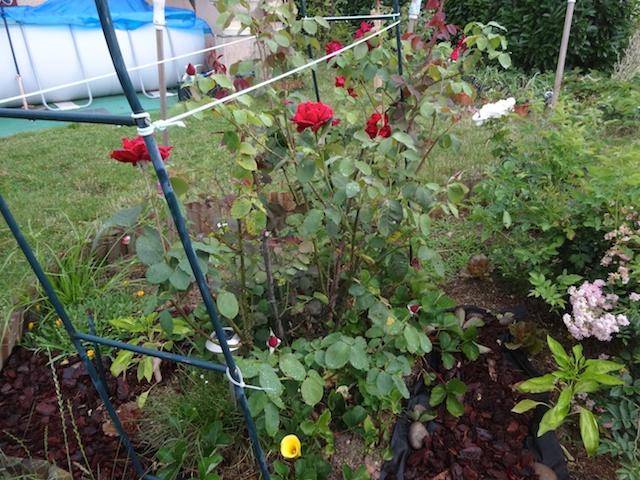 29 rosiers dans mon petit jardin je ne connais pas leurs noms Rosier15