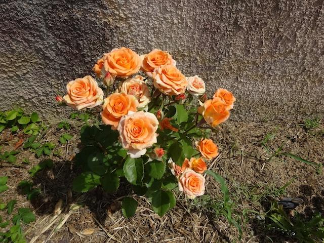 29 rosiers dans mon petit jardin je ne connais pas leurs noms Rosier17