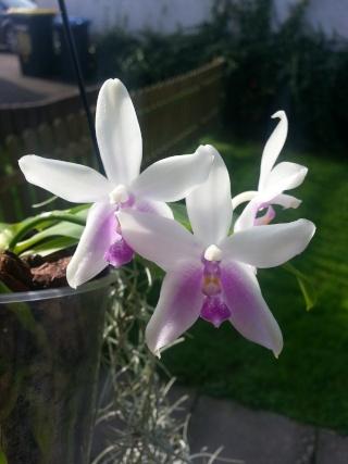 Phalaenopsis fimbriata x violacea 'Malaysia' 20141011