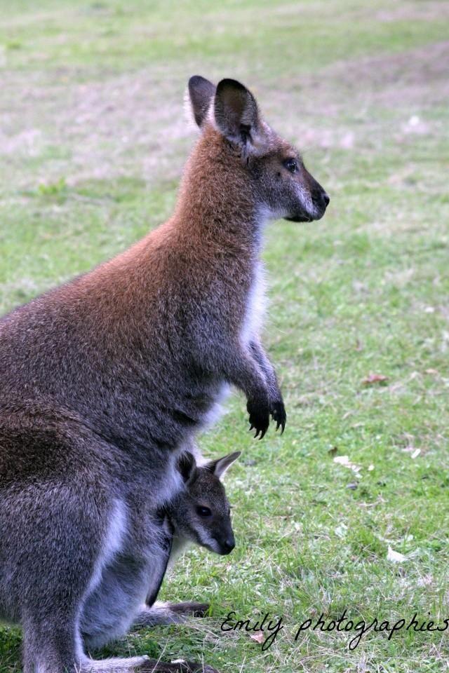 Des kangourous 110