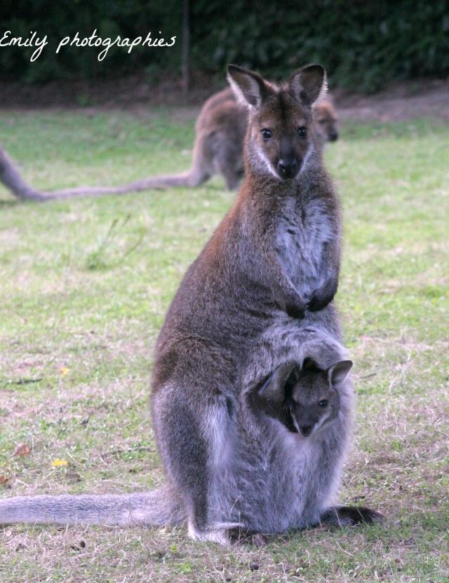 Des kangourous 310