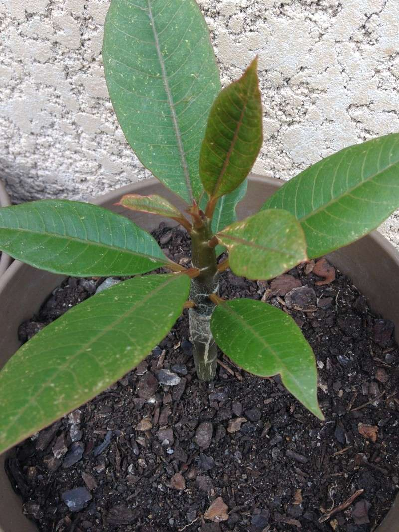 Besoin d'aide sur Plumeria. - Page 2 Img_1512
