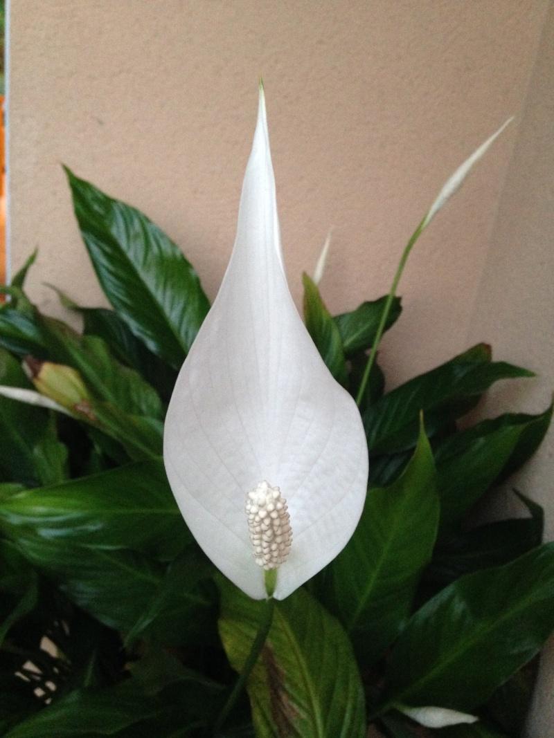 spathiphyllum Img_1515