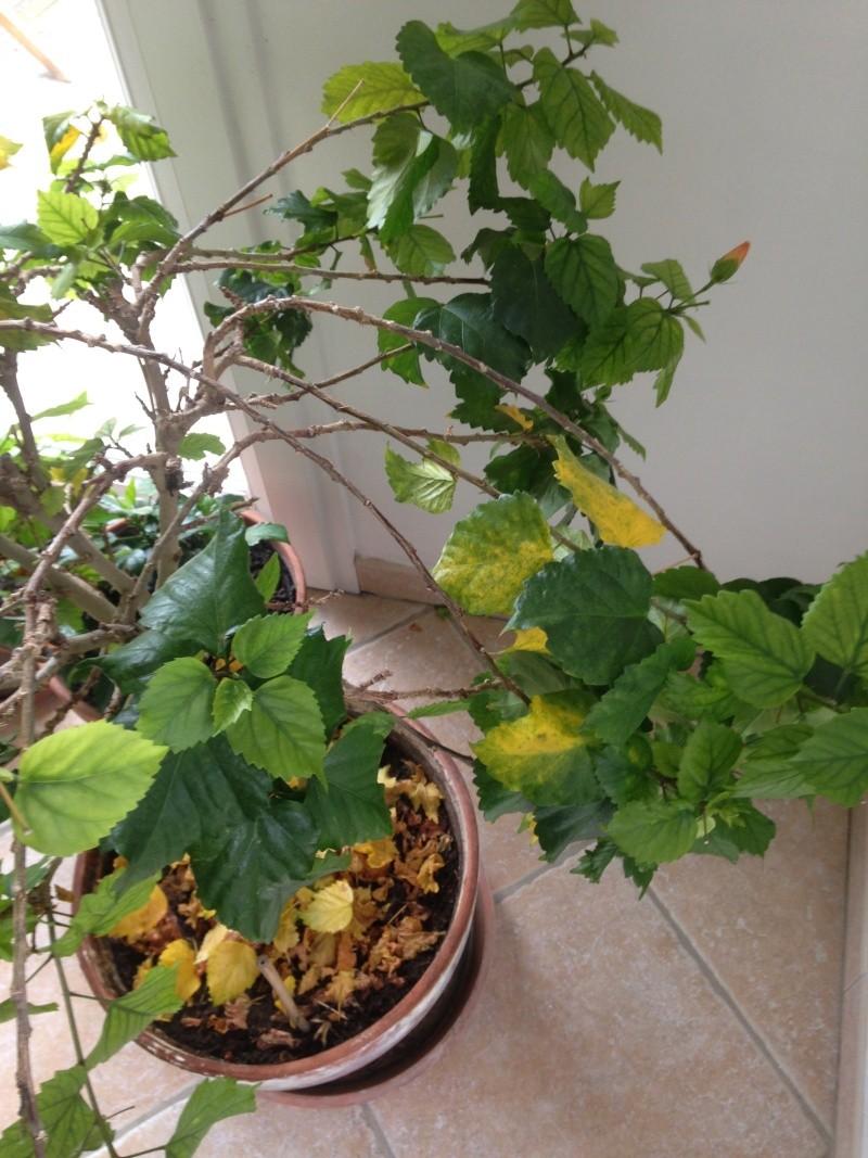 Hibiscus ...Malade? Img_1520