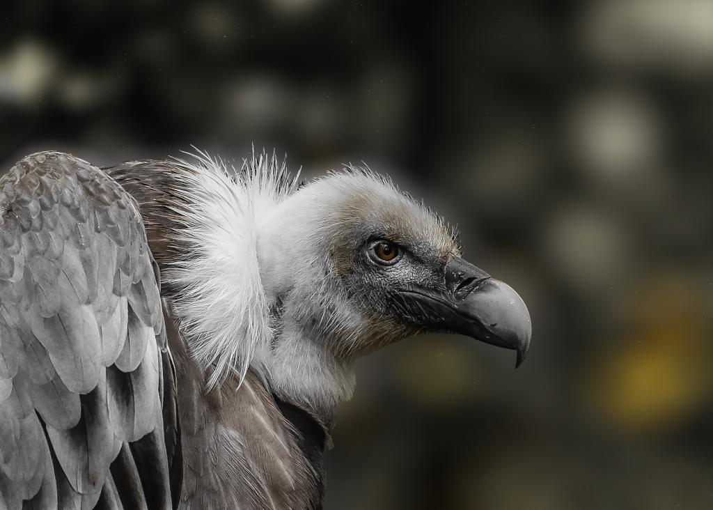 vautour 01112011