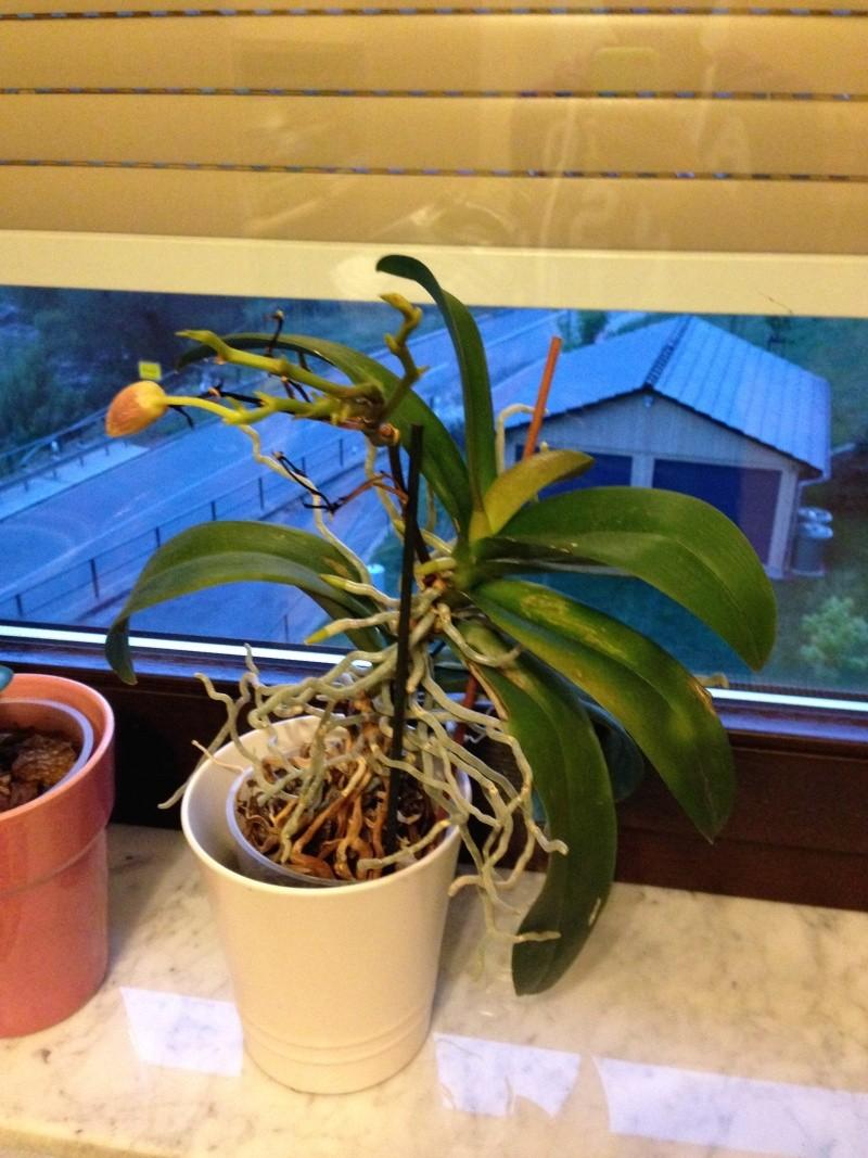 Kopfsteckling bei Phalaenopsis? Foto11