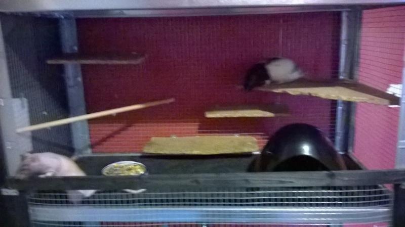 Mes ratounets découvrent leur nouvelle cage Wp_20115