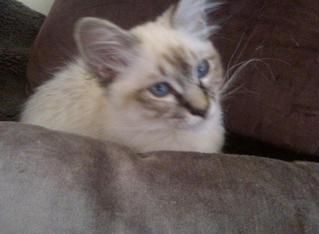 <3 Hayden, princesse birmane aux yeux bleus <3 Hayden15